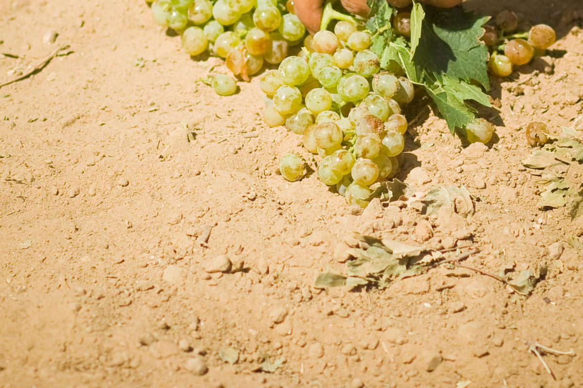 Uggìo | Tenute Rubino | Vini del Salento