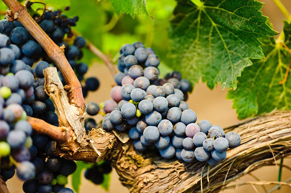 Susumaniello Jaddico - Tenute Rubino | I vini del Salento