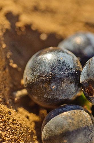 Uva Susumaniello - Tenute Rubino | Vini della Puglia