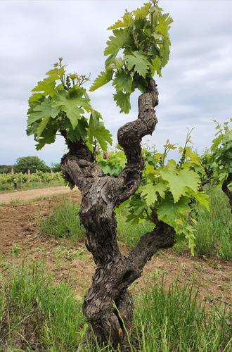 Jaddico - Negroamaro - Tenute Rubino | I vini della Puglia
