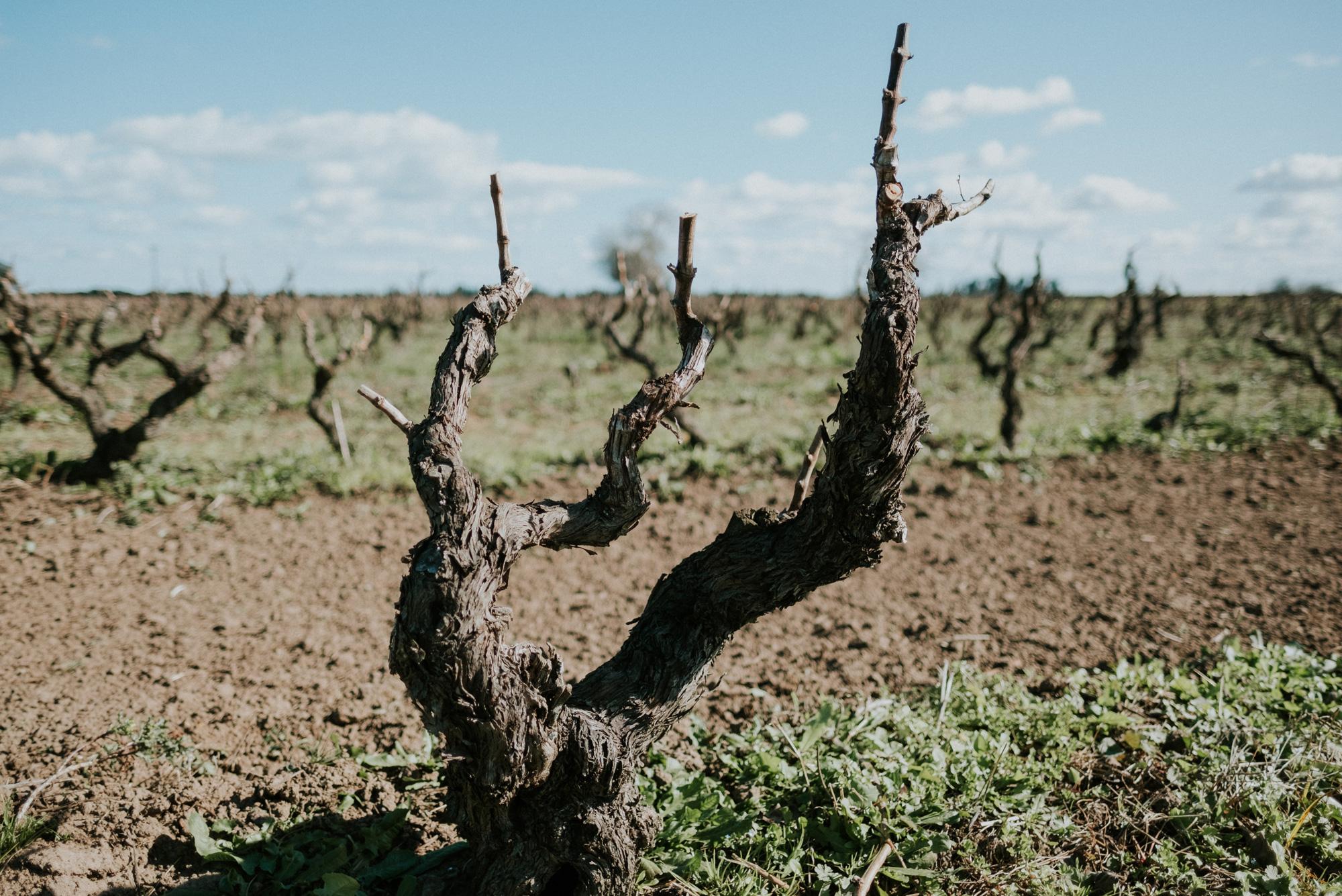 Vigne ad Alberello - Tenute Rubino | I Vini della Puglia - la casa del Susumaniello