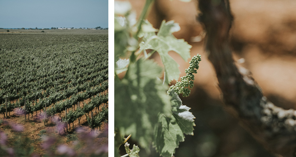 Susumaniello | Famiglia Rubino | Tenute Rubino | I Vini della Puglia